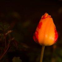 Тюльпан ночью :: Татьяна Ким