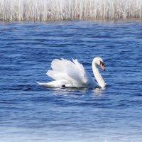 Лебедь на пруду. :: Olga Kovalenko