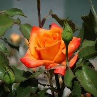 Розы из монастырского сада 3 :: Владимир Бровко