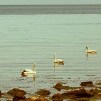 Феодосийские лебеди... :: Ирина