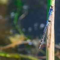 Стрекозы на Шумилинском озере. 09. :: Анатолий Клепешнёв