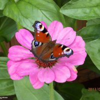 Бабочка :: Татьяна Шестакович