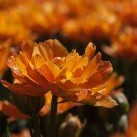 Солнечный тюльпан :: Oxana Epifanova