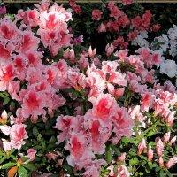 Азалии в Ботаническом саду. :: Оксана Н