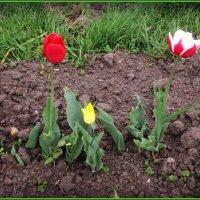 Три тюльпана на школьном дворе... :: Ольга Кривых