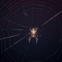 Ночная охота паука крестовика. :: Анатолий Клепешнёв
