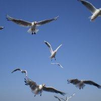 Чайки :: Ирина Рачкова