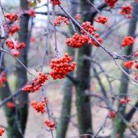 ...а рябина осень празднует, бусы красные надев... :: Николай Хондогий