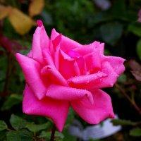 роза :: olgert6969