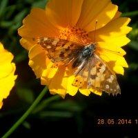 абочка опыляет цветок :: Лика Кулиш