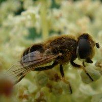Пчелка.Ревень цветет. :: Елизавета Успенская