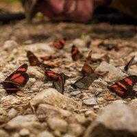 Бабочки :: сергей агаев