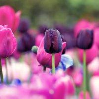 Кёкенхоф(парк тюльпанов),Нидерланды... :: Александр Вивчарик