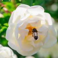 25 мая, жара +28, Пчёлы-во всю собирают нектар. :: Анатолий Клепешнёв