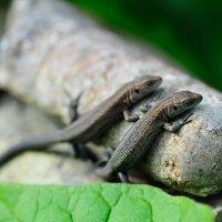 Ящерки толкают камень :: Екатерина Куликова
