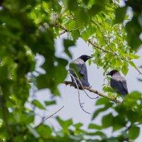 Pair of pigeons (Birds) :: Евгений Мезенцев