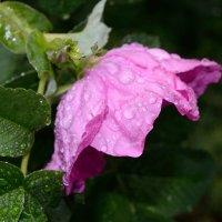 Шиповник и капли дождя :: Андрей Евгеньевич