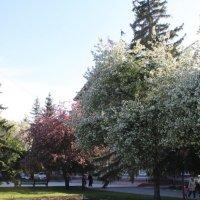 Яблони в цвету :: Наталья Золотых-Сибирская