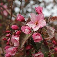 цветок розовой яблони :: Наталья Золотых-Сибирская