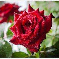 Роза :: Александр Гапоненко