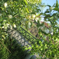 забор а вокруг цветы от ранетки :: Екатерина-капризная ))))