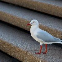 Красноклювая чайка :: Roman Tumassov