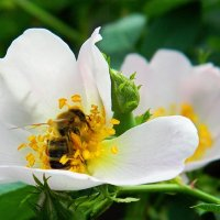 У пчел горячая пора :: Александр Бурилов