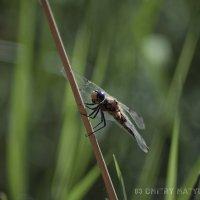 Dragonfly :: D. Matyushin.