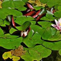 Хорошо лягушке летом на пруду... :: Виолетта