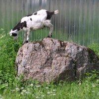 Горный козел на равнине :: Нименская Елена