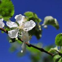 Яблони в цвету :: Андрей Куприянов