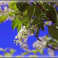 Цветы черёмухи :: Ирина Трифонова