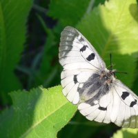 Бабочки из Красной книги :: Александр Грищенко