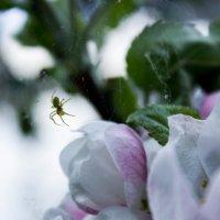 Яблоневый сад :: Светлана Чуданова