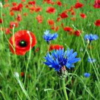 Полевые цветы. :: Александр Крылов