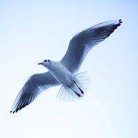 Просто чайка :: Татьяна Чермашенцева(Сhe)