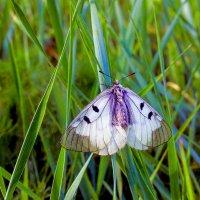 Бабочка :: Юрий Стародубцев