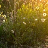 Травы рассветные :: Алексей Окунеев