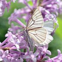Бабочка на сирени :: Андрей Вестмит