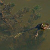 Царевна лягушка. :: Марина Соколова