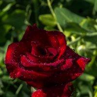 роза после дождя :: valera knysh