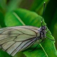 бабочка :: Аркадий Алямовский
