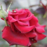 роза :: Vitaliy Kononov