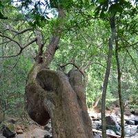 Индия. Дерево над ручьем :: Владимир Шибинский