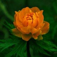 Сибирская роза. :: aWa