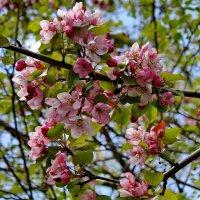 Благоухает яблоневый цвет... :: Галина