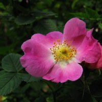 Шиповниковая роза. :: Антонина Гугаева