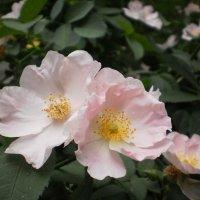 Шиповник цветёт :: Наталья Тимошенко