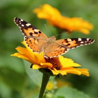 бабочка :: Елена Константиниди