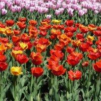 Тюльпаны :: Eвгения Генерозова